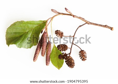 A branch of alder leaves, catkins and cones and  green cones. Branch of Alnus glutinosa, the common alder, black alder in spring.