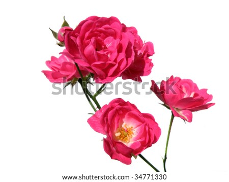 a branch of beautiful pink roses isolated on white