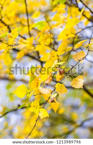 A branch of birch with yellow foliage. Autumn foliage. #1213989796
