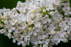 A branch of blooming white lilacs on a green background in a spring sunny day macro photography. Small white sirynga vulgaris flowers on a branch of a flowering plant close-up photo.
