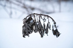 A branch of dried grass peeking out from under the white snow. Winter landscape. Land in the forest covered with white snow. The gloomy landscape of the cold winter brings melancholy and gloom