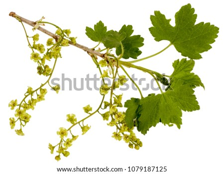 A branch of flowering currant isolated on white. #1079187125