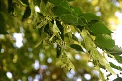 A branch of Linden tree. Tilia americana