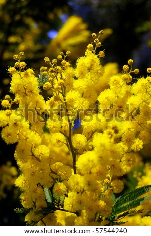 A branch of Mimosa for Women Day