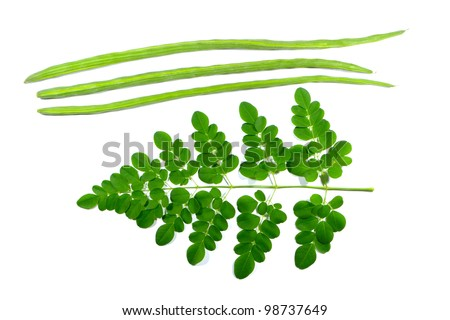 a branch of miracle leaves and drumstick with scientific name moringa oleifera on white background