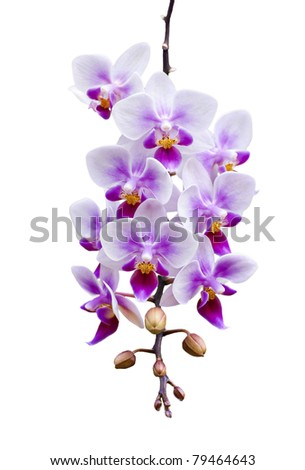 a branch of phalaenopsis orchid heavily laden with flower blooms and isolated on white - stock photo