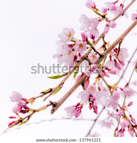 a branch of pink blooming cherry blossoms (sakura)