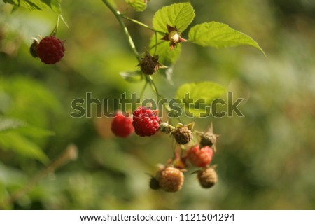 a branch of raspberry with berries on a blurred background #1121504294