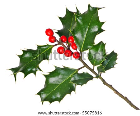 A branch of real holly, with red berries, isolated on a white background
