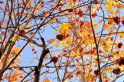 A branch of ripe rowan berries grows on a tree. Food for birds on mountain ash branches. Autumn leaves of orange rowan on a background of blue sky. The autumn time has come.
