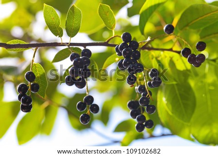 A branch of the bird cherry (Prunus padus) tree with ripe berries in the rays of sunlight