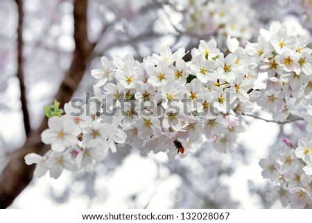 A branch of the cherry blossoms. Spring landscape.