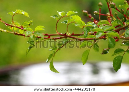 a branch of the rose Bush above the water #444201178