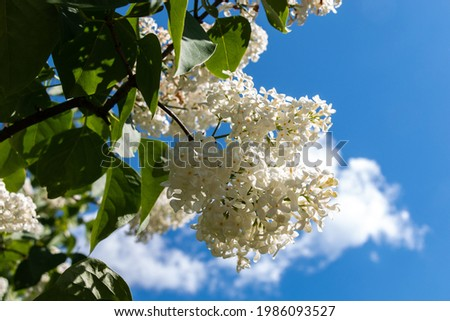 A branch of white lilacs on a tree in a park against a background of blue sky. White lilac blooms beautifully in spring. Close-up. Spring concept. Stock photo ©