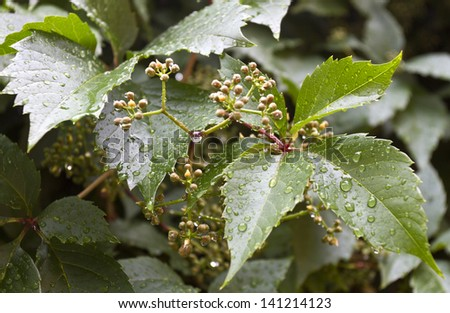 A branch of wild grapes with fruit and buds after summer rain/Wild grape background 2