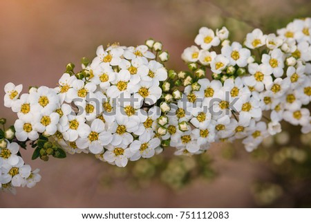 A branch white blossoms. Spring flowers. Sunlight.Yellow background