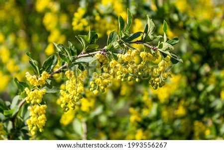 A branch with beautiful yellow hawthorn flowers. Tree in spring
