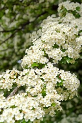A branch with flowers of hawthorn monopestic (Crataegus monogyna Jacq.)