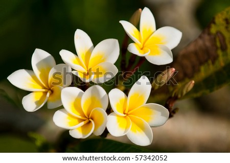 A branch with yellow frangipani flowers