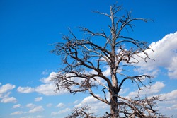 A branching tree against a blue sky with clouds
