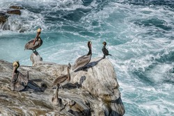 A Brandt's Cormorant asks permission to join a group of Brown Pelicans, La Jolla, California