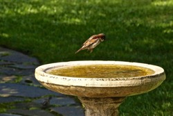 A  brave Field Sparrow taking the plunge into a very inviting bird bath.
