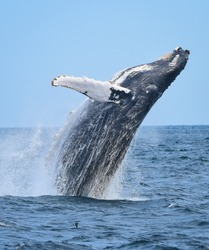 A breaching humpback whale rises out of the ocean with a splash as water streaming off him falls back to the sea.