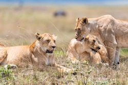 A breathtaking view of fierce lionesses in a savannah