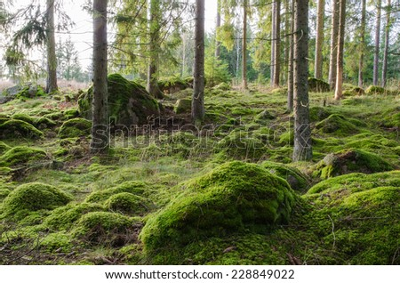 A bright and rocky coniferous forest with shiny green moss