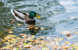 A bright beautiful colorful young adult duck with yellow nose and orange legs swims in the pond with yellow leaves