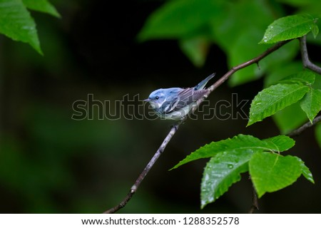 A bright blue Cerulean Warbler perched on a branch surrounded by bright green leaves soaked with rain drops. #1288352578