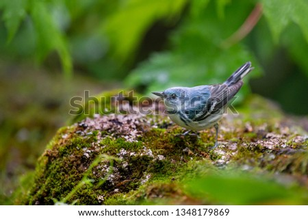 A bright blue Cerulean Warbler perched on a mossy covered log in the bright green forest. #1348179869