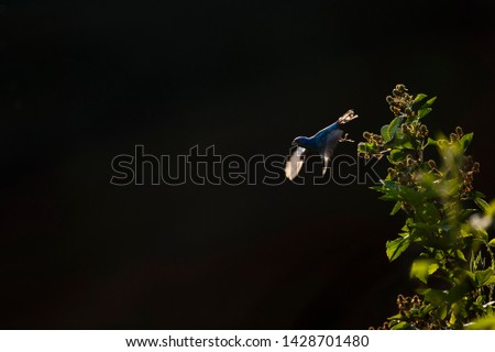 A bright blue Indigo Bunting takes off from the top of a glowing bush as everything glows in the early morning sun with a solid black background.