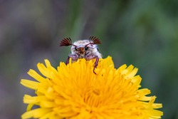A bright dandelion flower and a beautiful beatle Melolontha with large cilia. Focus on Melolontha.