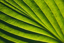 A bright green leaf pattern texture illuminated by the sun the sun on the reverse side. Selective focus macro shot with shallow DOF