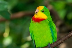 A bright green superb parrot (Polytelis swainsonii),or the Barraband's parrot, Barraband's or green leek parrot very close up.