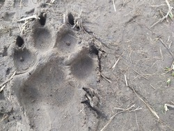 a bright imprint of a powerful paw of a large beast, a dog on a walk