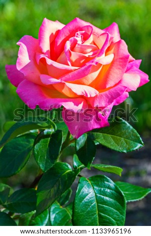 a bright lush rose with lush green leaves and tender petals #1133965196