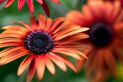 A bright, orange African daisy flower blooms in a summer garden.