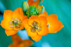 a bright orange Ornithogalum dubium botanical species or Sun star of Bethlehem flower branch against green background