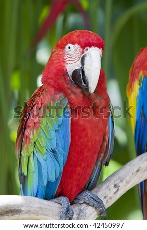 A bright red macaw parrot, sitting on a branch