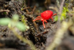 A bright red mite crosses the forest floor