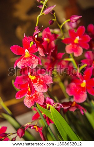 A bright red orchid called Cambria 'Nelly Isler', which produces plenty of bright red scented flowers up to three times per year