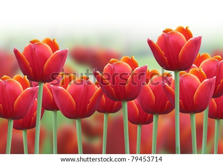 A bright red tulip flower background with a fade to white on the top for text. Use it for a spring or love concept.