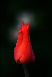A bright red tulip flower on a black background is a passion flower. The red tulip symbolizes strong, selfless, true love.