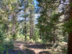 a bright sunny mountain terrain hiking nature trail in a dense woodland forest with evergreen coniferous pine trees tree
