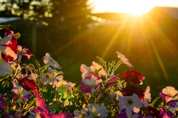 A bright sunset sun with rays from behind the roof and fence next to the silhouette of a fir tree illuminates a flower bed of petunias on the grass in the Northern village of Yakutia.