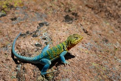 A bright turqouise Mountain Boomer (Collared Lizard) in the rocks of the Wichita Mountains in SW Oklahoma.
