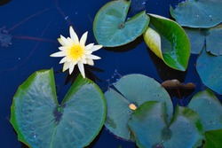 A BRIGHT WHITE AND YELLOW WATER LILLY SURROUNDED BY LILLY PADS IN MEDINA WASHINGTON