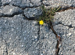 A bright yellow flower grows in a fissure of broken concrete, symbolizing strength, hope and resiliency.